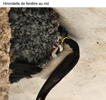 Hirondelle de fenêtre au nid