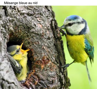 Mésange bleue au nid