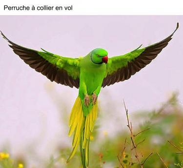 Perruche à collier en vol