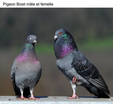 Pigeon Bizet mâle et femelle