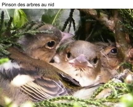 Pinson des arbres au nid